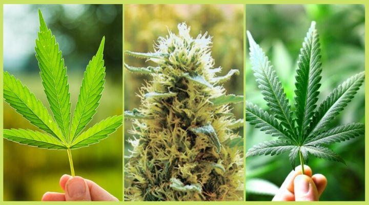 Smoking Cannabis Lead to Bronchitis